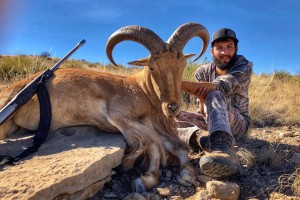 Barbary Sheep, Bighorn Sheep